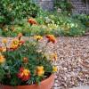Marigolds in Etruria Garden